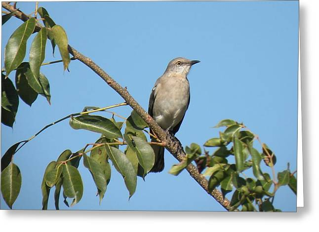 Mocking Bird Greeting Card by Rosalie Scanlon