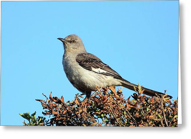 Mockingbird Greeting Cards - Mockingbird . 7682 Greeting Card by Wingsdomain Art and Photography