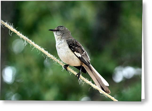 Mockingbird On Rope Greeting Card