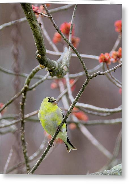 Greeting Card featuring the photograph Molting Gold Finch by Bill Wakeley