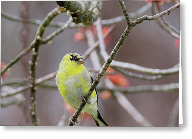 Greeting Card featuring the photograph Molting Gold Finch Square by Bill Wakeley