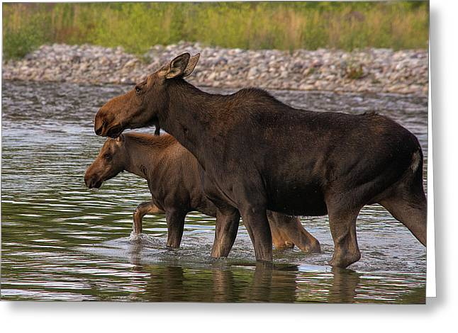 Mom And Baby Moose River Crossing Greeting Card by Mary Hone