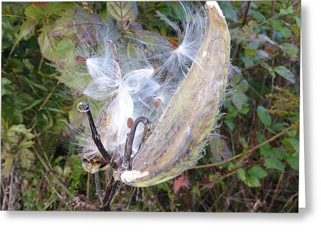 Greeting Card featuring the photograph Moment In The Life Of A Milkweed by Joel Deutsch