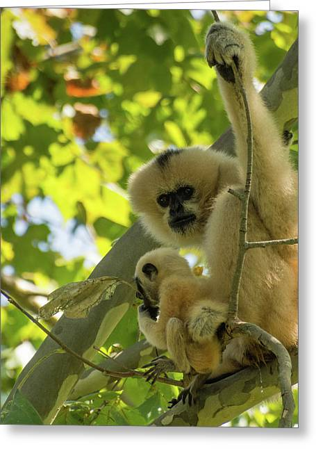 Mommy Gibbon Greeting Card
