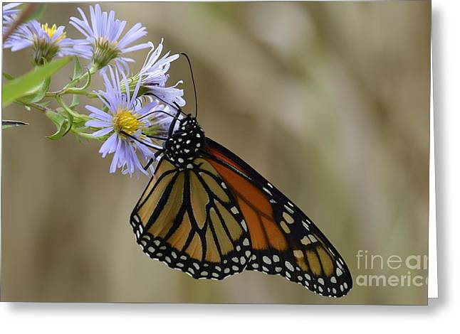 Greeting Card featuring the photograph Monarch 2015 by Randy Bodkins