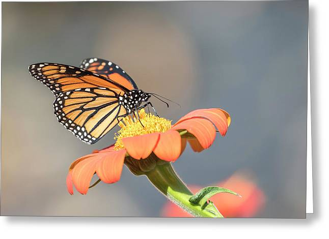 Monarch 2017-10 Greeting Card