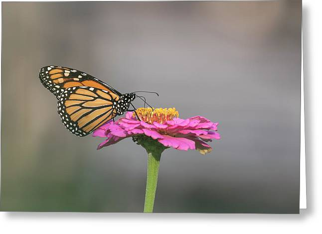 Monarch 2017-11 Greeting Card