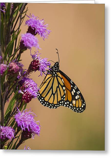 Monarch And Blazing Star 2013-1 Greeting Card by Thomas Young