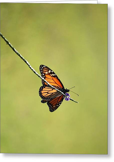Monarch And Natural Green Canvas Greeting Card by Carol Groenen