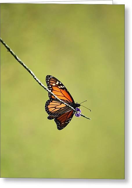 Monarch And Natural Green Canvas Greeting Card
