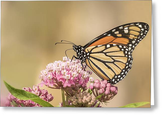 Swamp Milkweed Greeting Cards - Monarch and Swamp Milkweed Greeting Card by Thomas Young
