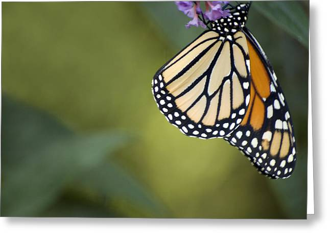 Greeting Card featuring the photograph Monarch Art by Elsa Marie Santoro