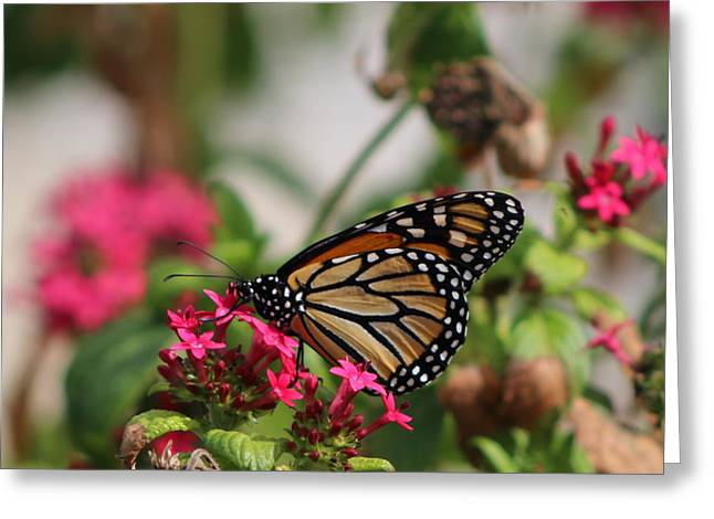 Monarch Butterfly On Fuchsia Greeting Card