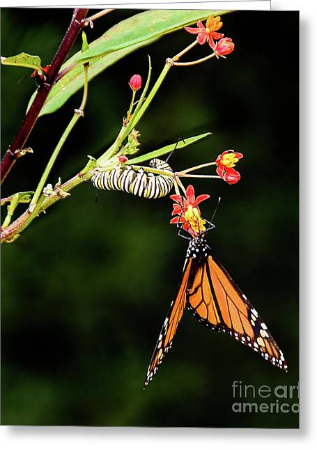 Monarch Butterfly And Caterpillar Feeding Greeting Card by Dee Zunker