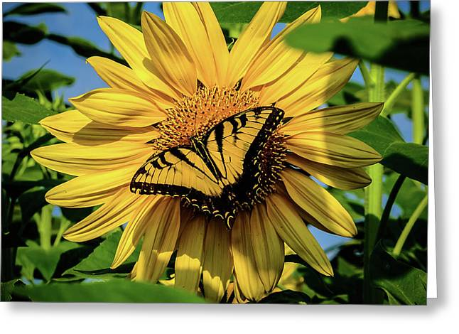 Greeting Card featuring the photograph Male Eastern Tiger Swallowtail - Papilio Glaucus And Sunflower by Louis Dallara
