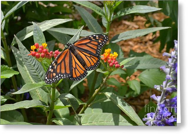 Greeting Card featuring the photograph Monarch Butterfly by Carol  Bradley