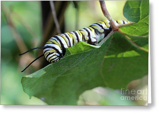 Monarch Butterfly Caterpillar Eating Milkweed Leaf Greeting Card