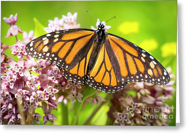 Greeting Card featuring the photograph Monarch Butterfly Closeup  by Ricky L Jones