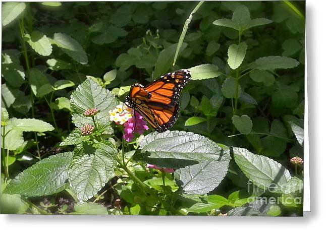 Greeting Card featuring the photograph Monarch Butterfly Feeding by Carol  Bradley