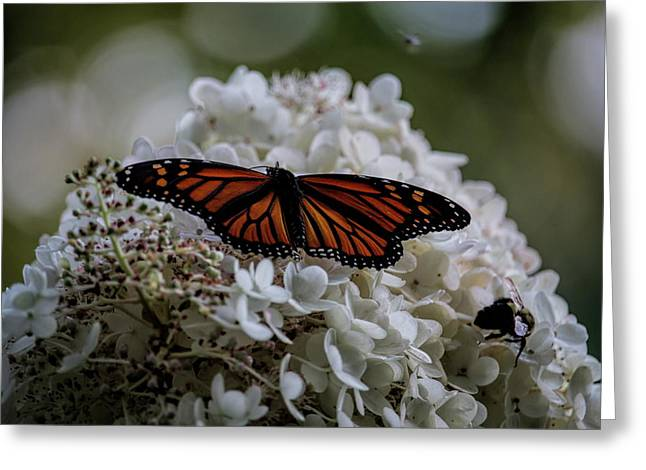 Monarch Butterfly Feeding On Hydrangea Tree Greeting Card