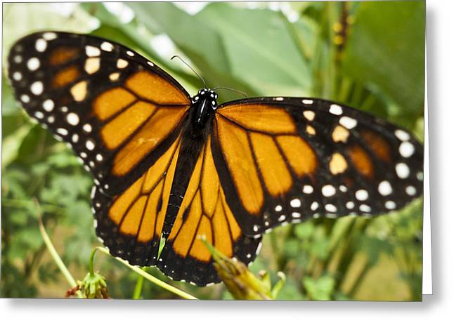 Faunal Greeting Cards - Monarch Butterfly II Greeting Card by Heiko Koehrer-Wagner