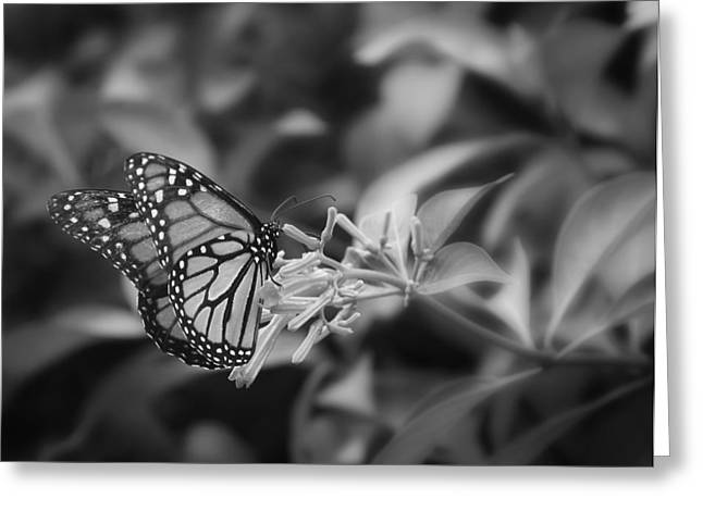 Monarch Butterfly In Black And White Greeting Card by Joseph G Holland