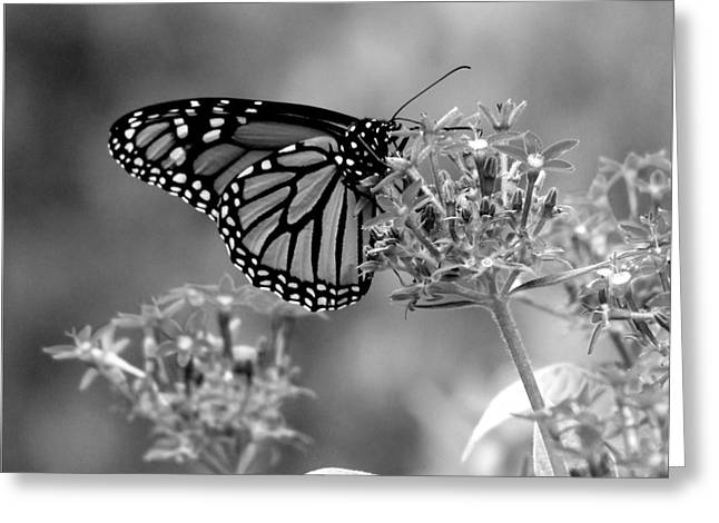 Monarch Butterfly In Bw Greeting Card by Laurinda Bowling