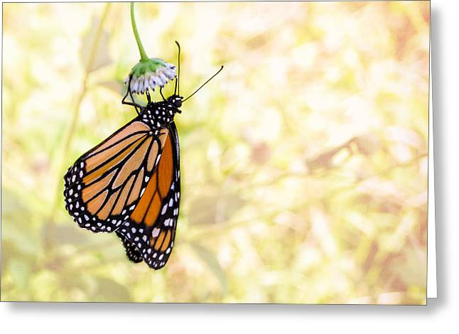 Monarch Butterfly Hanging On Wildflower Greeting Card