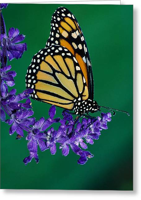 Monarch Butterfly On Flower Blossom Greeting Card by Panoramic Images