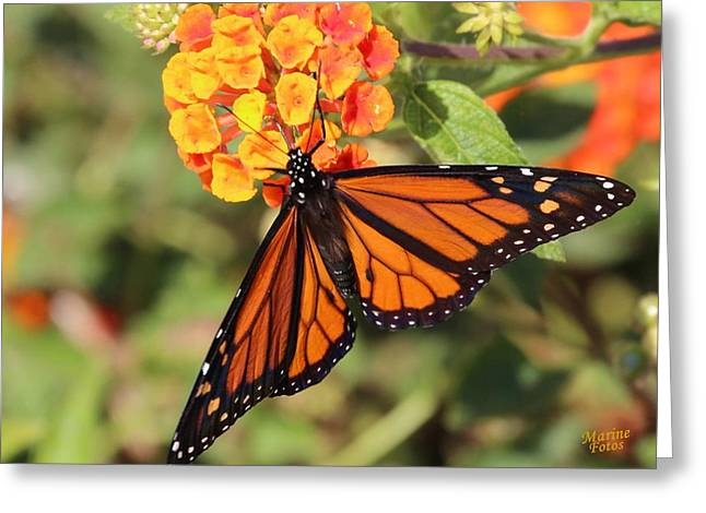 Monarch Butterfly On Orange Flower Greeting Card