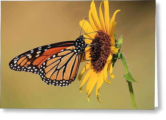Monarch Butterfly On Sun Flower Greeting Card