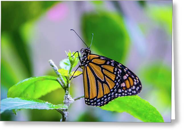 Monarch Butterfly Greeting Card by Pamela Williams
