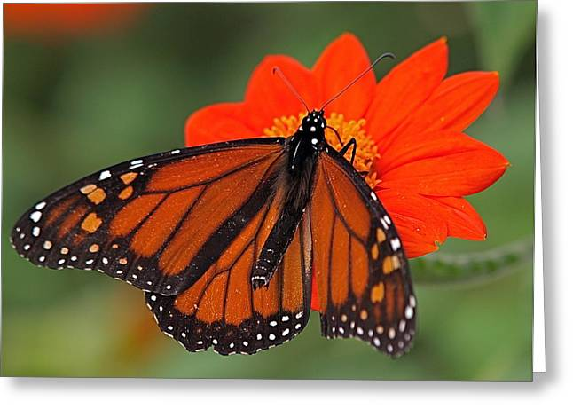 Monarch Butterfly Greeting Card by Peter Gray