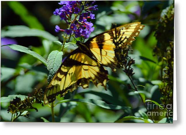 Swallowtail Butterfly Greeting Card by Robyn King