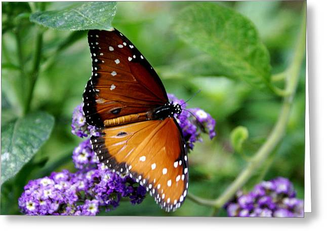 Monarch Butterfly Greeting Card by Sonja Anderson