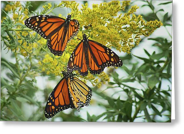Monarch Butterfly - Trio Greeting Card