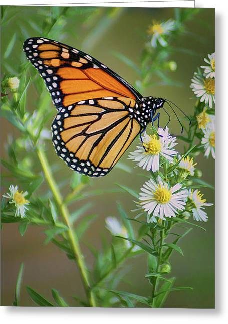 Monarch Butterfly - Wild Aster Greeting Card by Nikolyn McDonald
