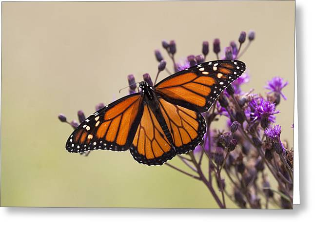 Purlple Greeting Cards - Monarch Butterfly wings open Greeting Card by Tina B Hamilton