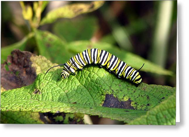 Monarch Caterpillar Greeting Card by George Jones