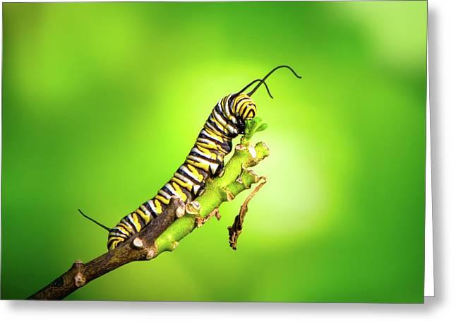 Monarch Caterpillar Greeting Card