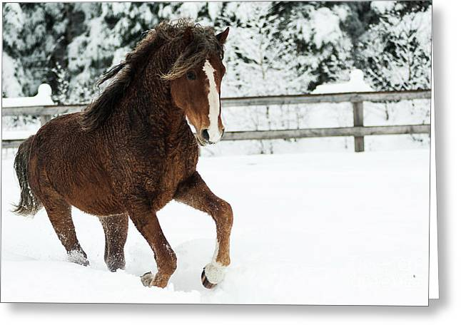 Monarch Curly Playing In Snow Greeting Card by Eric Chamberland