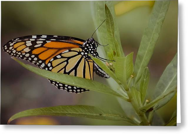 Monarch Desperation Greeting Card by DigiArt Diaries by Vicky B Fuller
