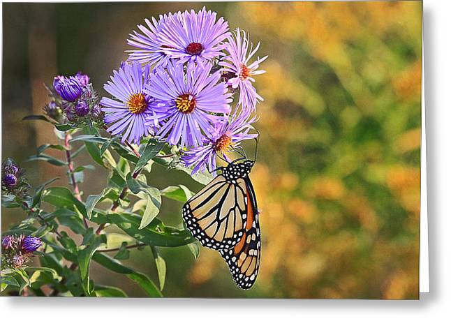 Monarch Feeding Greeting Card by James Steele