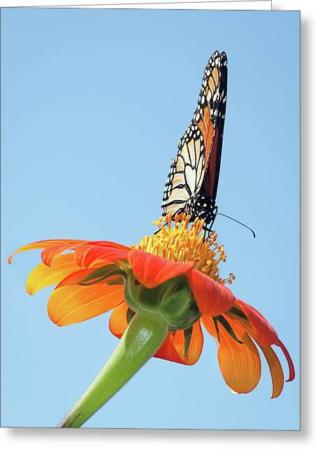 Greeting Card featuring the photograph Monarch I by Dawn Currie