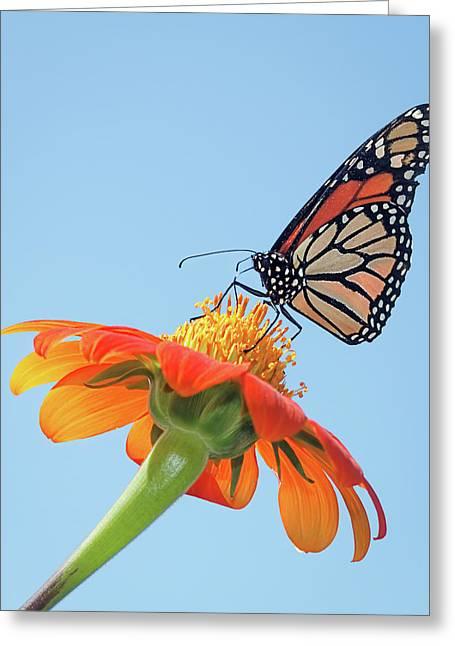 Monarch II Greeting Card