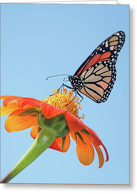 Greeting Card featuring the photograph Monarch II by Dawn Currie