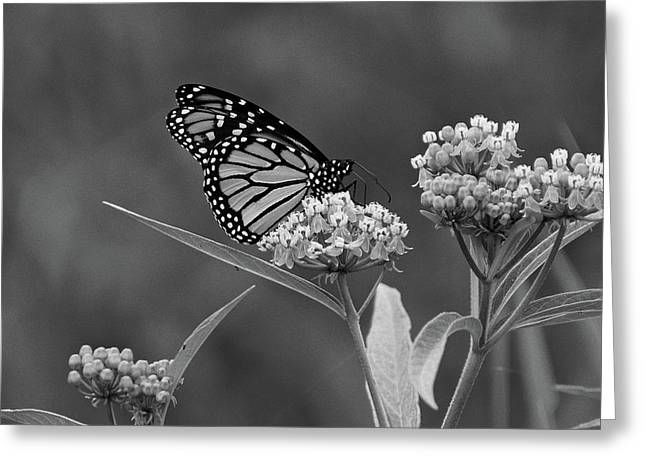 Monarch In Black And White Greeting Card
