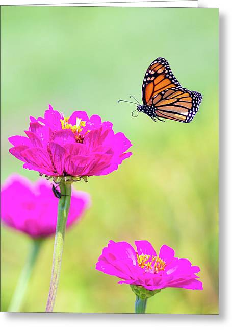 Monarch In Flight 1 Greeting Card