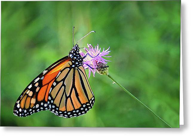 Monarch In The Meadow Greeting Card