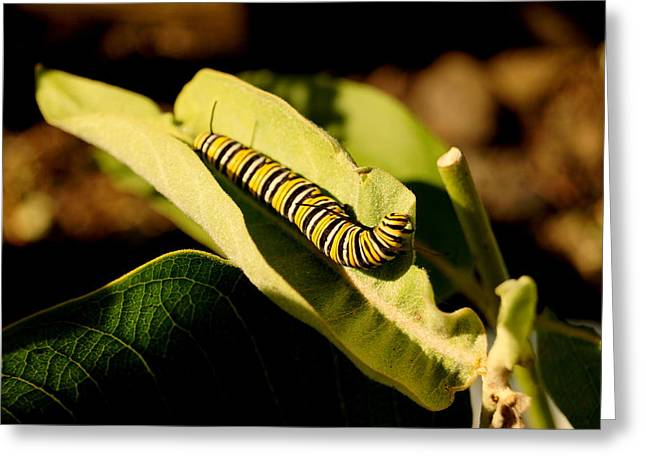 Monarch In Waiting Greeting Card by Beth Collins